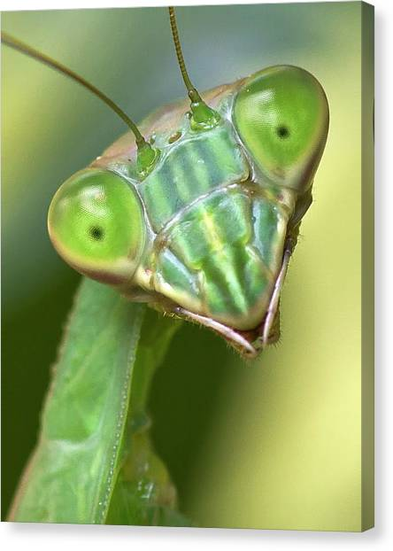 Mantis Hello Canvas Print