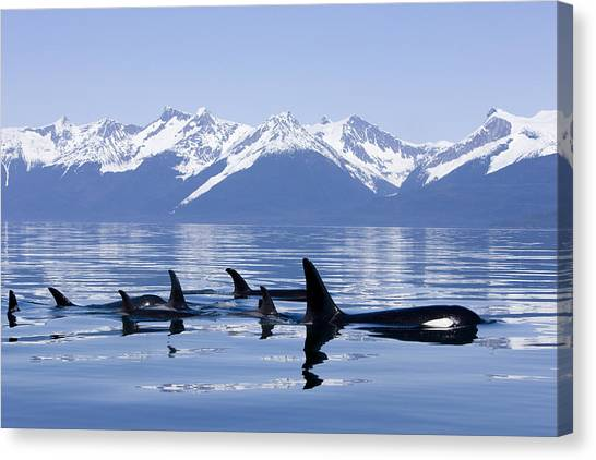 Many Orca Whales Canvas Print
