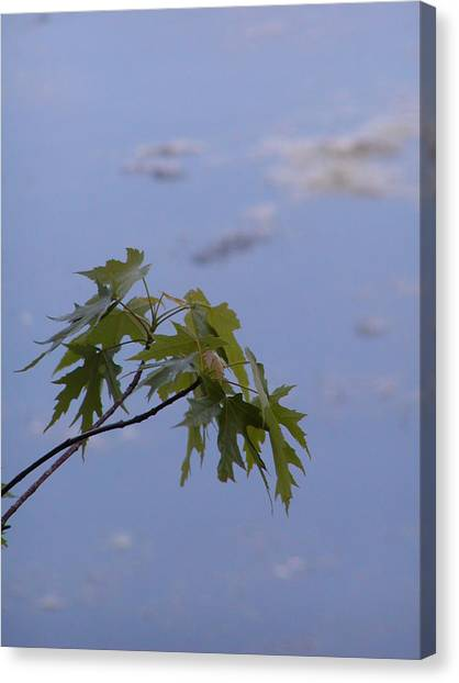 Maple Against Reflected Sky Canvas Print by Randy Muir
