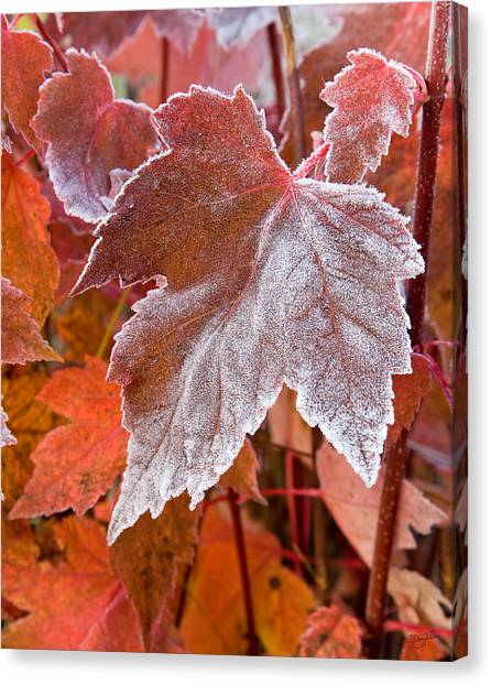 Maple Frost  Canvas Print