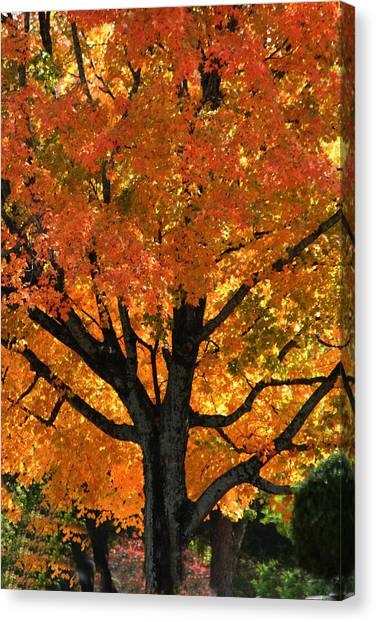 Maple Hill Maple In Autumn Canvas Print