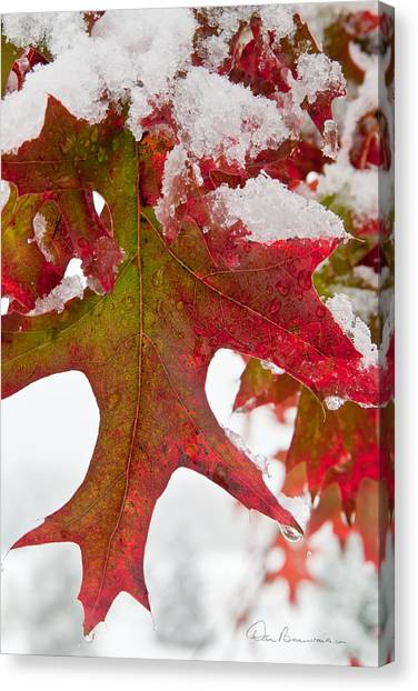 Maple Leaf And Snow 7467 Canvas Print