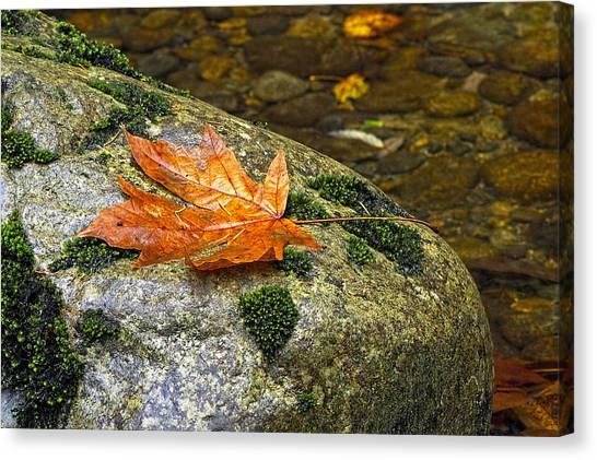 Maple Leaf On A Rock Canvas Print