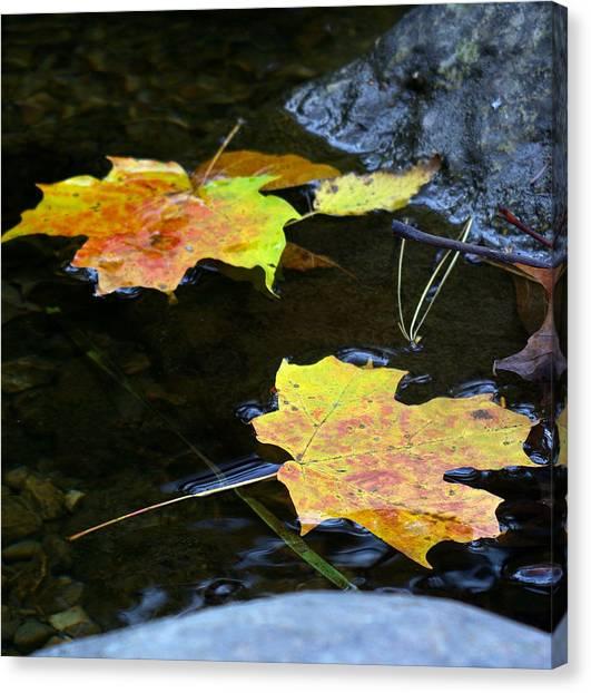 Maple Leaf Canvas Print by Sean Shaw