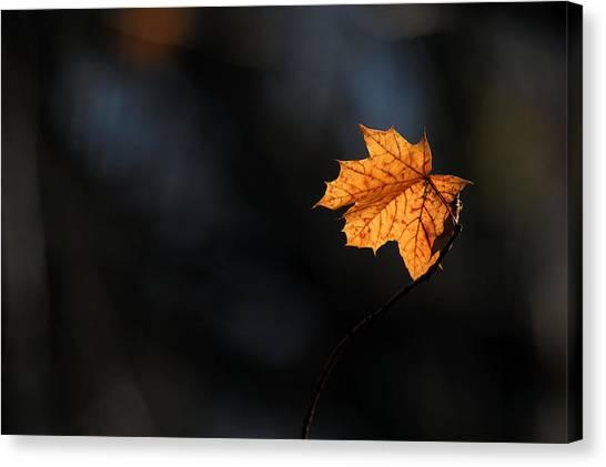 Maple Leaf Setauket New York Canvas Print