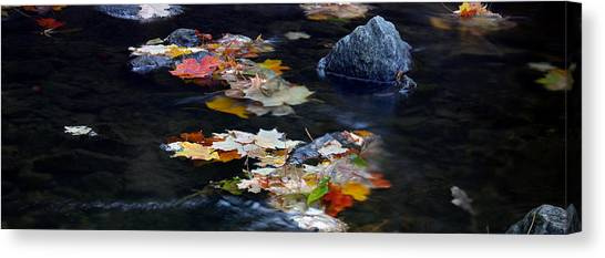 Maple Leaves-0005 Canvas Print by Sean Shaw