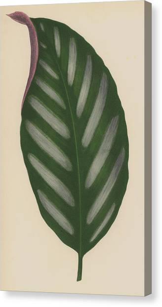 Bananas Canvas Print - Maranta Porteana by English School