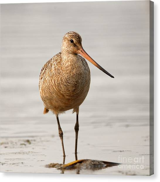 Marbled Godwit - Beauty Canvas Print