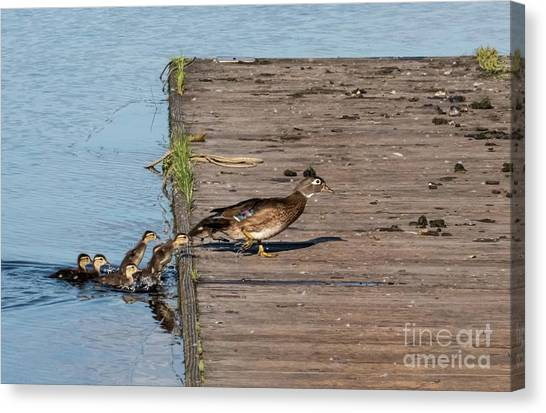 University Of Washington Canvas Print - March Of The Wood Ducks by As the Dinosaur Flies Photography