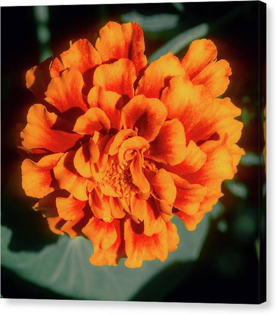 Canvas Print featuring the photograph Marigold Closeup by John Brink