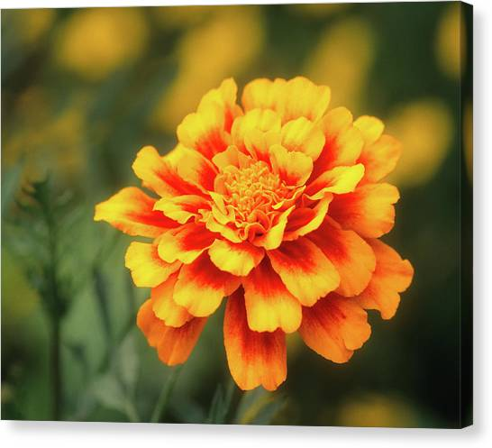 Canvas Print featuring the photograph Marigold by John Brink