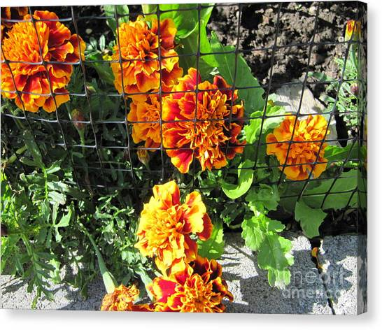 Marigolds In Prison Canvas Print