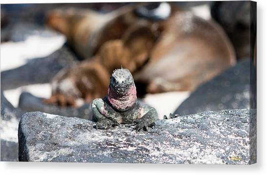 Marine Iguana Amongst The Sea Lions Canvas Print by Robert Selin