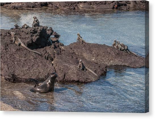 Marine Iguanas And Sealion Pup At Punta Espinoza Fernandina Island Galapagos Islands Canvas Print