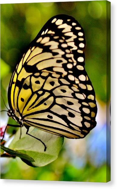 Mariposa Butterfly Canvas Print