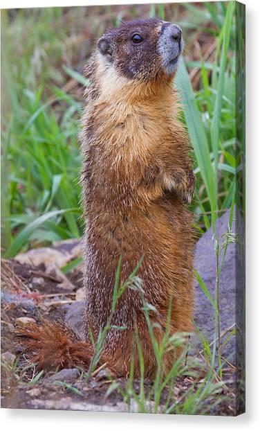 Marmot Love Canvas Print by Naman Imagery