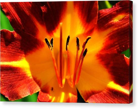 Maroon Lily Canvas Print