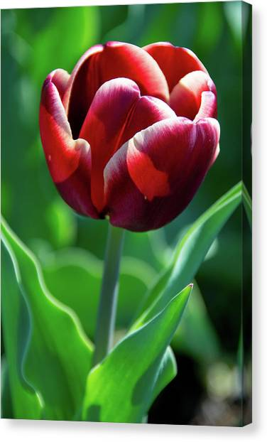 Maroon Tulip Canvas Print