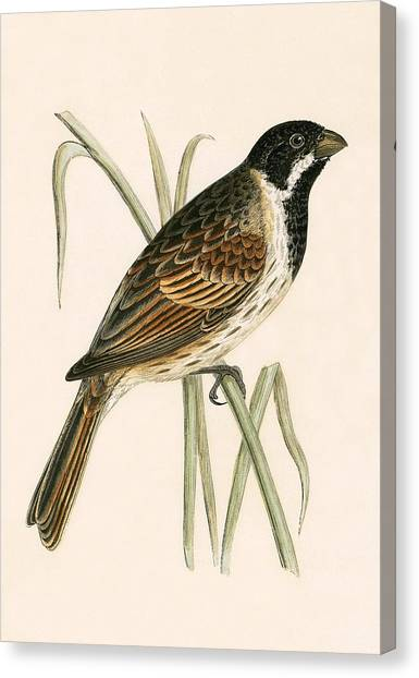Buntings Canvas Print - Marsh Bunting by English School