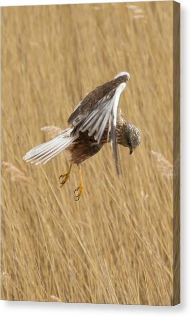 Marsh Harrier Hunting Canvas Print