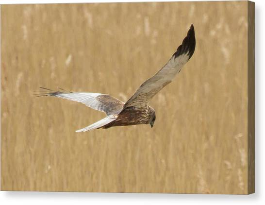 Marsh Harrier Quartering Canvas Print