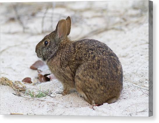 Marsh Rabbit On Dune Canvas Print