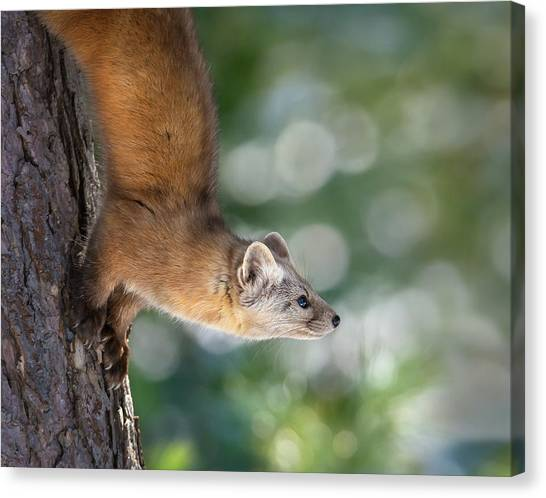 Marten On Tamarack Canvas Print