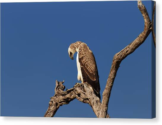 Perching Birds Canvas Print - Martial Eagle by Johan Swanepoel