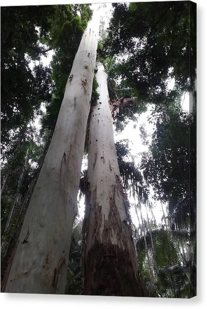 Mary Cairncross Rainforest  Canvas Print