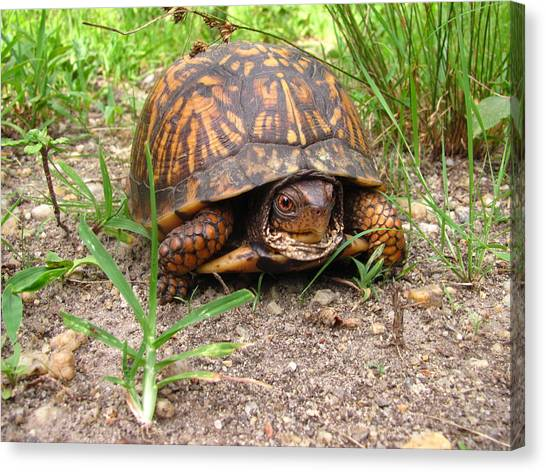Maryland Box Turtle Canvas Print