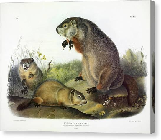Groundhogs Canvas Print - Maryland Marmot, Woodchuck, Groundhog by John James Audubon