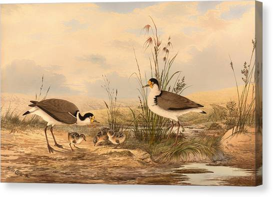 Lapwing Canvas Print - Masked Lapwing by Mountain Dreams