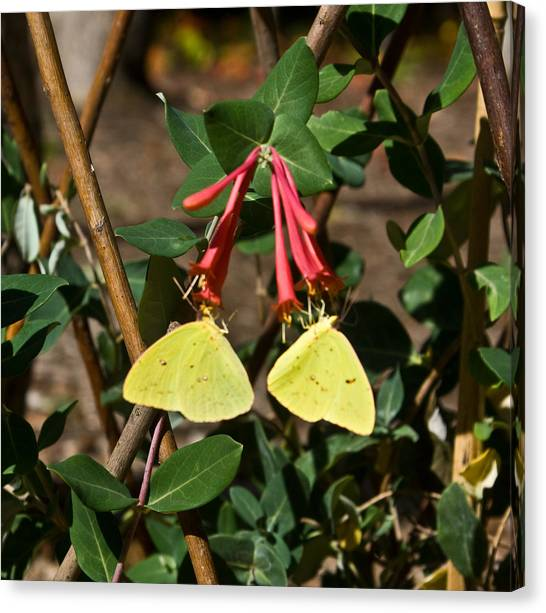 Sulfur Butterfly Canvas Print - Matched Pair Of Sulfur Butterflies by Douglas Barnett