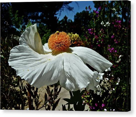 Matilija Poppy Two Canvas Print