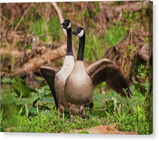 Mating Pair Guarding The Nest Canvas Print