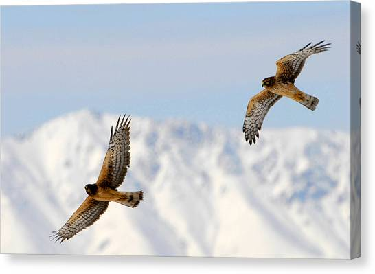 Mating Pair Harrier Hawks Canvas Print by Dennis Hammer
