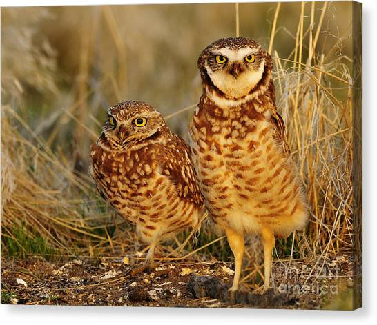 Mating Pair Of Burrowing Owls Canvas Print by Dennis Hammer