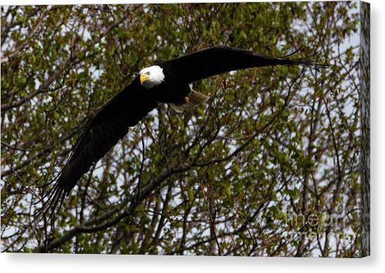 Mature Bald Eagle Canvas Print