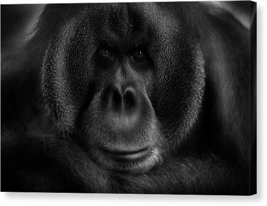 Ape Canvas Print - Maurice by Kay