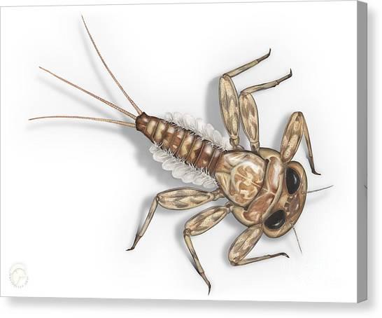 Mayfly Larva Nymph Rithorgena Ecdyonurus Venosus - Moscas De May Canvas Print