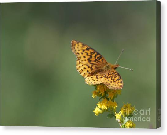 Meadow Fritillary Canvas Print