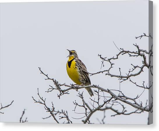 Meadowlarks Canvas Print - Meadowlark In Tree by Marc Crumpler