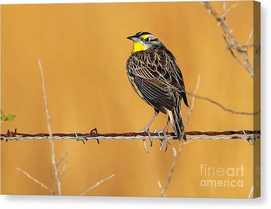 Meadowlarks Canvas Print - Meadowlark by Rick Mann