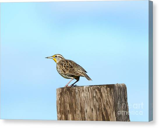 Meadowlarks Canvas Print - Meadowlark Roost by Mike Dawson