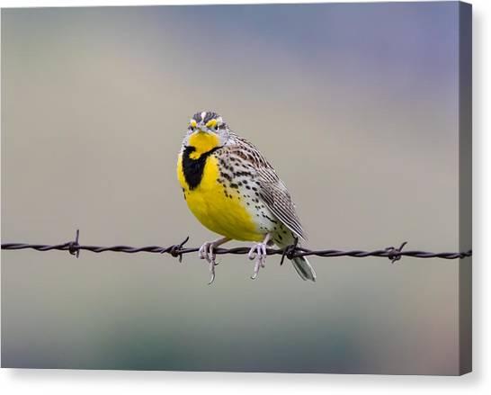 Meadowlarks Canvas Print - Meadowlark Stare by Marc Crumpler
