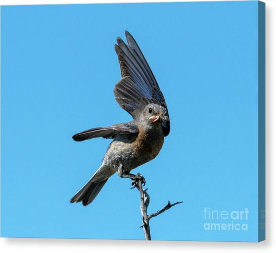 Grasshoppers Canvas Print - Meal Delivered by Mike Dawson