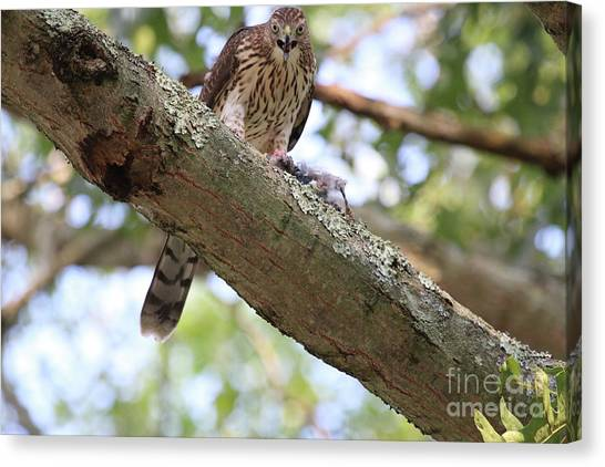 Mean Hawk At Dinner Time Canvas Print
