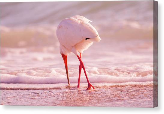 Ibis Canvas Print - Meandering Beauty Cortez Beach by Betsy Knapp