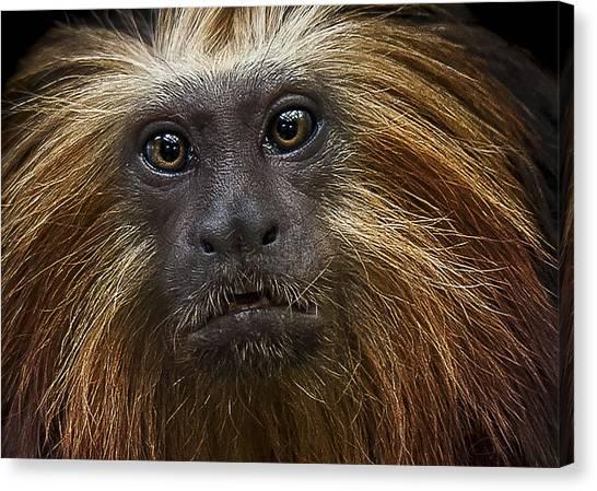 Primates Canvas Print - Medicine Man by Paul Neville