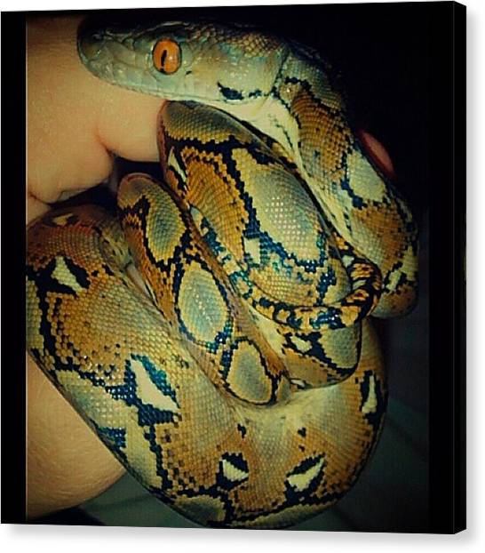 Pythons Canvas Print - Baby Reticulated Python by Michael Baker